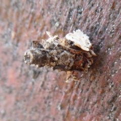 Psychidae sp. (family) (Unidentified case moth or bagworm) at West Belconnen Pond - 7 Dec 2019 by Christine