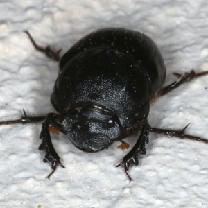 Onthophagus declivis at Ainslie, ACT - 3 Nov 2019