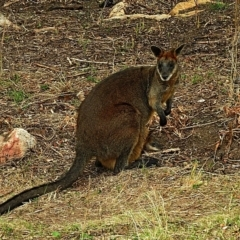 Wallabia bicolor at Brogo, NSW - 2 Dec 2019