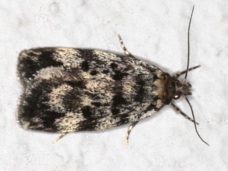 Barea (genus) at Ainslie, ACT - 4 Nov 2019