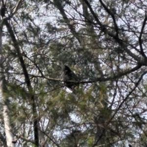 Calyptorhynchus lathami at Morton National Park - 8 Dec 2019