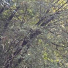 Eucryphia moorei (Pinkwood/Plumwood) at Wingecarribee Local Government Area - 7 Dec 2019 by KarenG