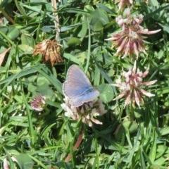 Zizina otis labradus (Common Grass Blue) at Panboola - 17 Nov 2019 by LizAllen