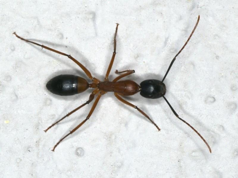 Camponotus consobrinus at Ainslie, ACT - 7 Nov 2019