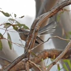 Rhipidura fuliginosa (Grey Fantail) at Greenway, ACT - 8 Dec 2019 by RodDeb