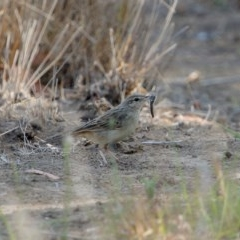 Cincloramphus mathewsi (Rufous Songlark) at Burradoo - 9 Dec 2019 by Snowflake