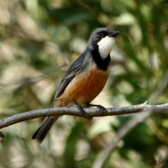 Pachycephala rufiventris (Rufous Whistler) at Burradoo - 9 Dec 2019 by Snowflake