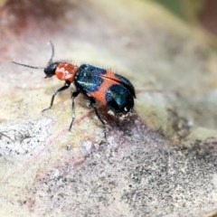 Dicranolaius bellulus (Red and Blue Pollen Beetle) at Scullin, ACT - 8 Dec 2019 by AlisonMilton