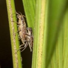 Temnosternus planiusculus (Longhorn beetle) at ANBG - 9 Dec 2019 by AlisonMilton