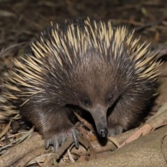 Tachyglossus aculeatus (Short-beaked Echidna) at ANBG - 6 Dec 2019 by Tim L