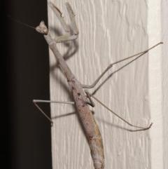 Archimantis latistyla (Stick Mantis, Large Brown Mantis) at Evatt, ACT - 10 Dec 2019 by TimL