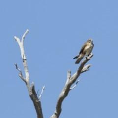 Falco berigora (Brown Falcon) at Michelago, NSW - 8 Sep 2019 by Illilanga
