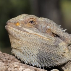Pogona barbata (Eastern Bearded Dragon) at ANBG - 6 Dec 2019 by Tim L