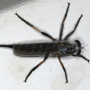 Cerdistus sp. (genus) at Ainslie, ACT - 11 Dec 2019