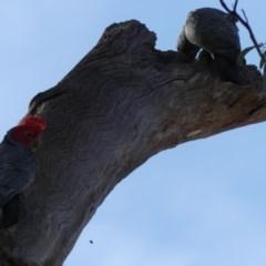 Callocephalon fimbriatum (Gang-gang Cockatoo) at Mount Ainslie - 6 Dec 2019 by WalterEgo