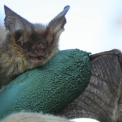 Nyctophilus geoffroyi (Lesser Long-eared Bat) at Quaama, NSW - 12 Nov 2008 by FionaG