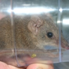 Antechinus agilis (Agile Antechinus) at Quaama, NSW - 7 Feb 2006 by FionaG