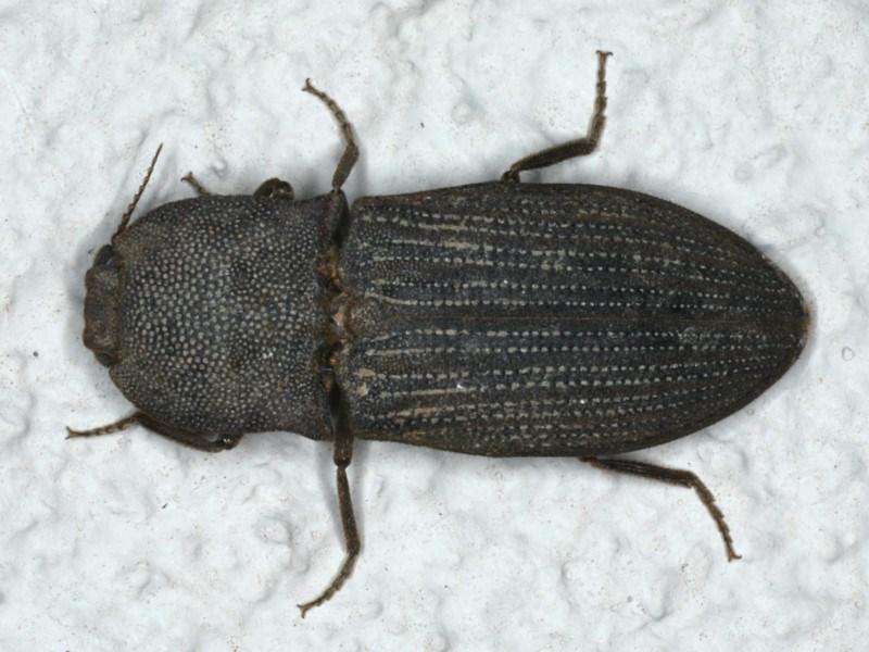 Agrypnus sp. (genus) at Ainslie, ACT - 5 Dec 2019