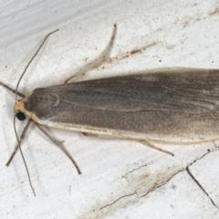 Palaeosia bicosta at Ainslie, ACT - 5 Dec 2019