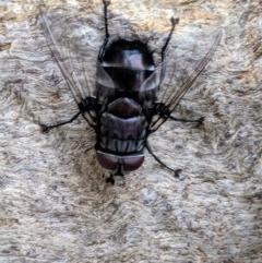 Rutilia (Donovanius) sp. (genus & subgenus) (A Bristle Fly) at Colinton, NSW - 11 Dec 2019 by Shimitras
