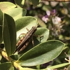 Phaulacridium vittatum (Wingless Grasshopper) at Aranda, ACT - 11 Dec 2019 by Jubeyjubes
