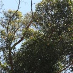 Eurystomus orientalis at ANBG - 12 Dec 2019