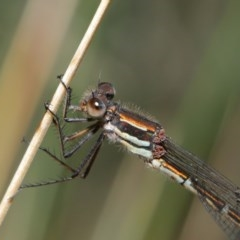 Austrolestes psyche (Cup Ringtail) at Acton, ACT - 8 Dec 2019 by TimL