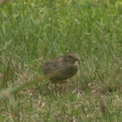 Turnix varius (Painted Button-quail) at Quaama, NSW - 15 Oct 2018 by FionaG