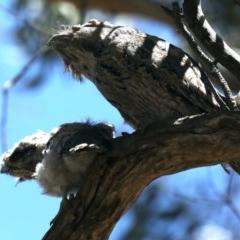 Podargus strigoides (Tawny Frogmouth) at Mount Ainslie - 14 Nov 2019 by jbromilow50