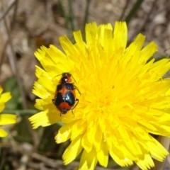 Dicranolaius villosus (Melyrid flower beetle) at Yarramundi Grassland  - 24 Nov 2019 by JanetRussell