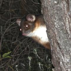 Pseudocheirus peregrinus (Common Ringtail Possum) at Rosedale, NSW - 14 Nov 2019 by jbromilow50