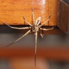 Argoctenus sp. (genus) (Wandering ghost spider) at Evatt, ACT - 12 Dec 2019 by TimL
