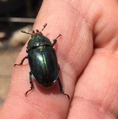 Lamprima aurata (Golden stag beetle) at Wonboyn, NSW - 9 Dec 2019 by wickedtatz