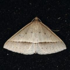 Epidesmia tryxaria (Neat Epidesmia) at Rosedale, NSW - 14 Nov 2019 by jbromilow50