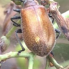 Ecnolagria grandis (Honeybrown beetle) at Aranda, ACT - 13 Dec 2019 by Jubeyjubes