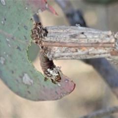 Clania lewinii (Lewin's case moth) at Aranda Bushland - 11 Dec 2019 by CathB