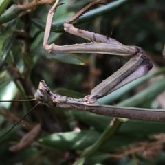 Archimantis sp. (genus) (Large Brown Mantis) at Aranda, ACT - 13 Dec 2019 by Jubeyjubes