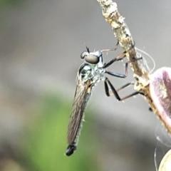 Cerdistus sp. (genus) (Robber fly) at Aranda, ACT - 13 Dec 2019 by Jubeyjubes