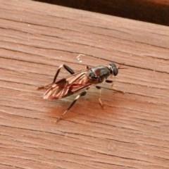 Exaireta spinigera (Garden Soldier Fly) at Aranda, ACT - 13 Dec 2019 by KMcCue