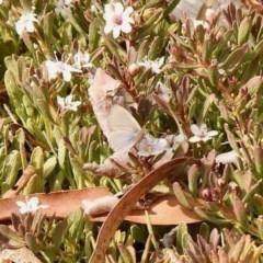 Zizina otis (Common Grass-blue) at Aranda, ACT - 13 Dec 2019 by KMcCue
