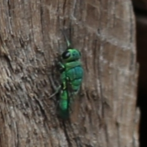 Chrysididae sp. (family) at ANBG - 13 Dec 2019