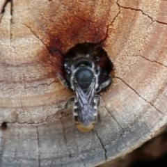 Megachile sp. (several subgenera) (Resin Bees) at ANBG - 13 Dec 2019 by HelenCross