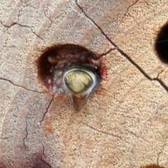 Megachile sp. (several subgenera) at ANBG - 13 Dec 2019