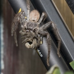Isopeda sp. (genus) (Huntsman Spider) at Higgins, ACT - 13 Dec 2019 by AlisonMilton
