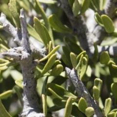 Melicytus angustifolius subsp. divaricatus (Divaricate Tree Violet) at Michelago, NSW - 10 Nov 2018 by Illilanga