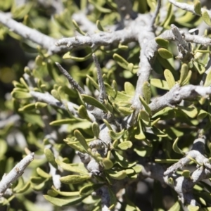 Melicytus angustifolius subsp. divaricatus at Illilanga & Baroona - 11 Nov 2018