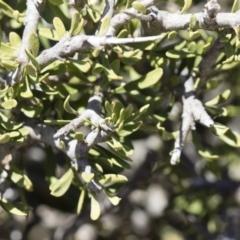 Melicytus angustifolius subsp. divaricatus at Michelago, NSW - 11 Nov 2018