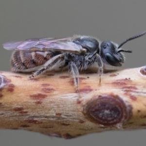 Lasioglossum sp. (genus) at Michelago, NSW - 10 Nov 2018