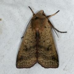 Diarsia intermixta (Moth) at Rosedale, NSW - 15 Nov 2019 by jbromilow50