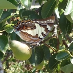 Charaxes sempronius (Tailed Emperor) at Spence, ACT - 13 Dec 2019 by Laserchemisty